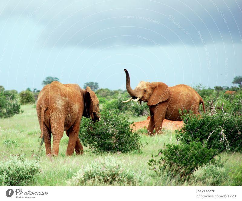 Jambo - jambo Himmel Natur Sommer Tier Bewegung gehen Zusammensein Wildtier Sträucher Fröhlichkeit Kommunizieren Afrika Zusammenhalt Gelassenheit Hinterteil