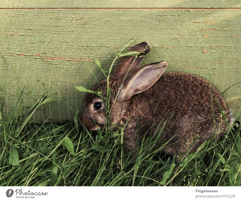 Man sagt er war ein Rammler. Oder war er ein Angsthase? Tier Wiese Ernährung Gras Lebensmittel Feste & Feiern Ohr Ostern 1 Freundlichkeit Leidenschaft genießen verstecken Hase & Kaninchen Wohlgefühl Haustier