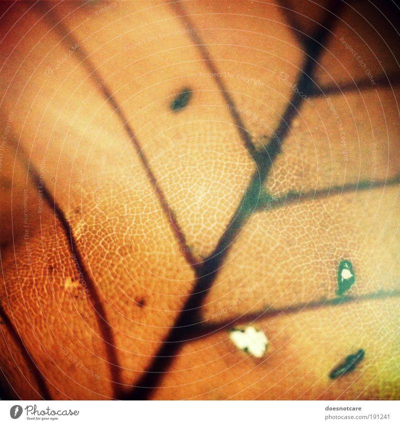Death in Autumn. Natur Pflanze braun Blatt Blattadern Herbst Herbstlaub Verfall Tod analog praktica trist Farbfoto Gedeckte Farben Nahaufnahme Detailaufnahme