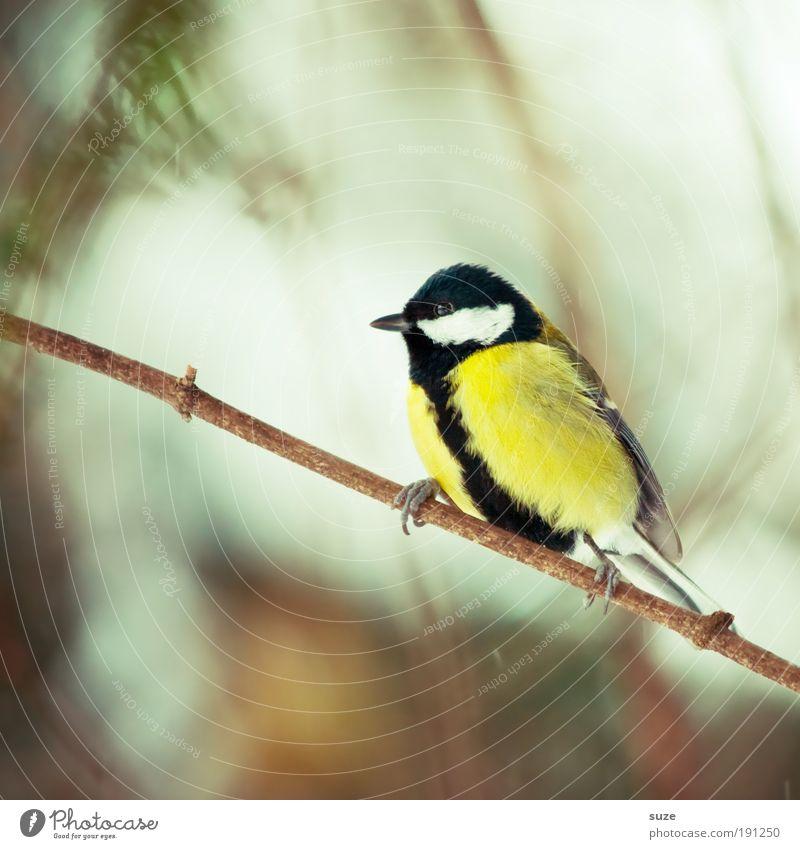 Vollmeise ;) Natur Tier gelb Frühling klein Vogel sitzen Wildtier warten niedlich Feder Ast Zweig Schnabel Umwelt Singvögel
