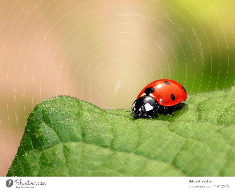 Marienkäfer grün Insekt Glücksbringer rot Blatt Natur Pflanze Nahaufnahme Sommer Makroaufnahme Farbe Freude Käfer krabbeln gepunktet Textfreiraum