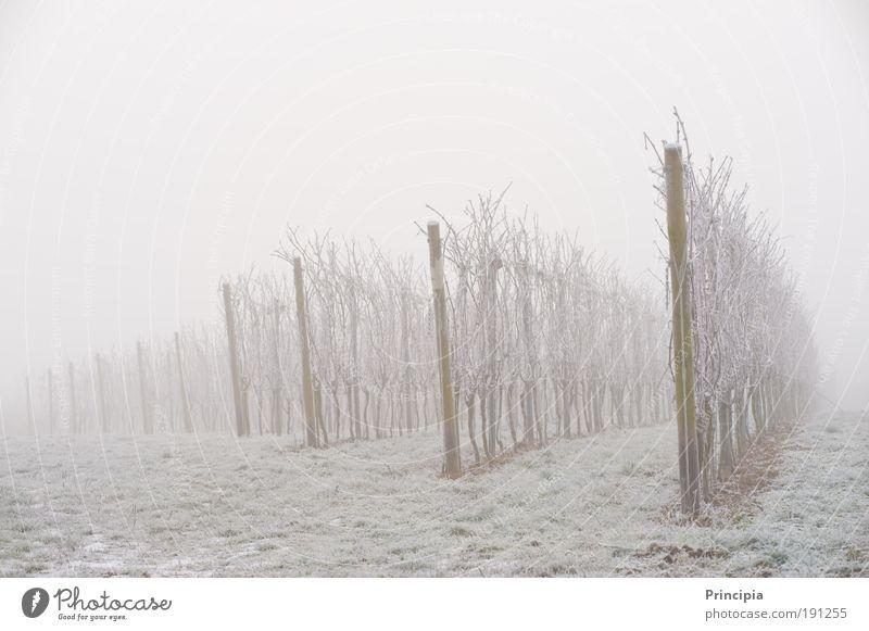 Weinberg im Morgennebel Natur Pflanze Winter ruhig Umwelt Landschaft grau träumen Feld Eis Nebel Frost Trauer Romantik Weinberg Lebensmittel