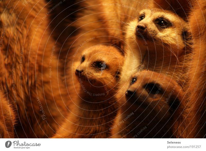 Familienversammlung Tier klein lustig Tierjunges Zusammensein Wildtier stehen Tiergruppe niedlich beobachten Neugier Fell Tiergesicht dünn nah Säugetier