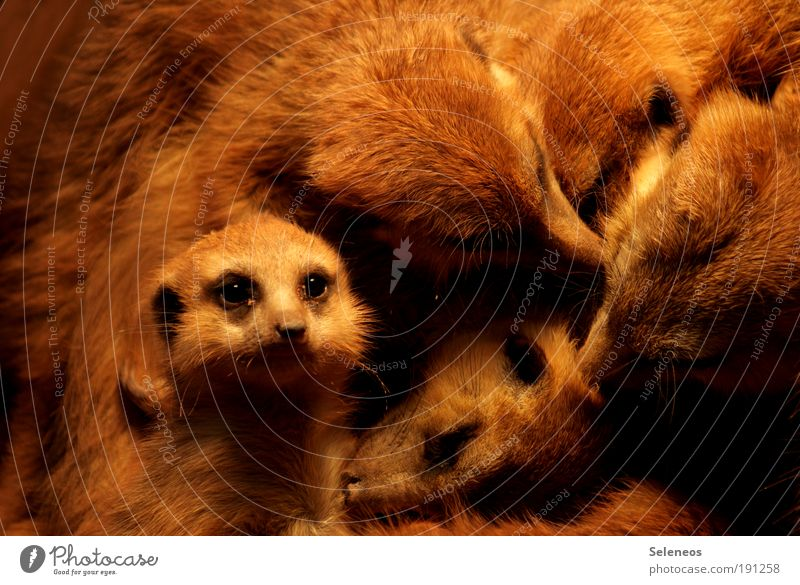 Pelzliebhaber Natur Tier Liebe Umwelt klein lustig Tierjunges Zusammensein Wildtier Tiergruppe weich niedlich Reinigen beobachten Neugier Tiergesicht