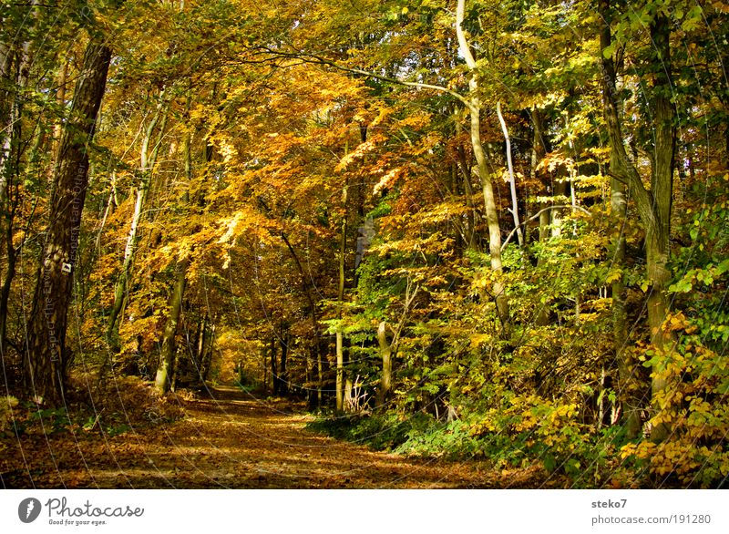 Weg in den Herbst Blatt Einsamkeit gelb Wald Erholung Herbst Landschaftsformen Wege & Pfade hell braun gold ästhetisch Sauberkeit Idylle Duft trocken