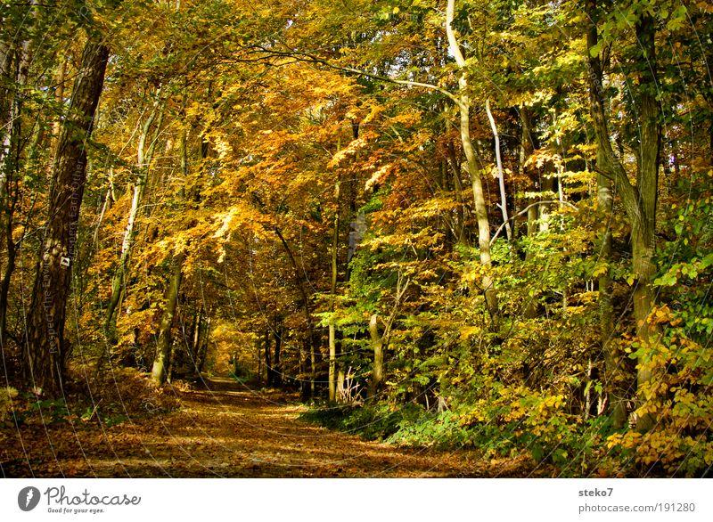 Weg in den Herbst Blatt Einsamkeit gelb Wald Erholung Landschaftsformen Wege & Pfade hell braun gold ästhetisch Sauberkeit Idylle Duft trocken