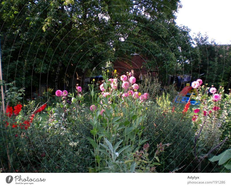 Sommerdahlien Schönes Wetter Pflanze Blume Blüte Garten Duft Erholung Farbe Stolz Wachstum Blumenbeet Farbfoto Außenaufnahme Menschenleer Abend Totale Tag