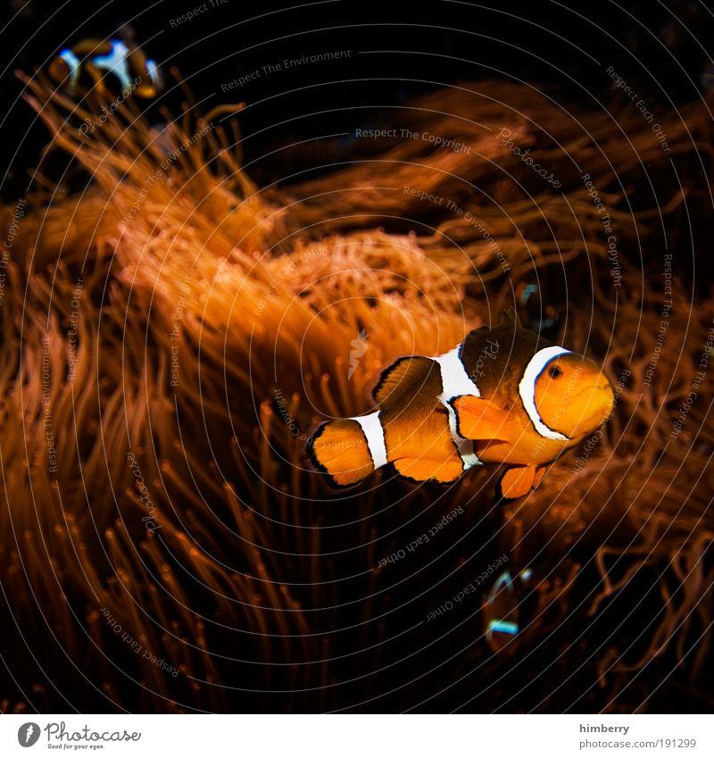 chromatische nemos Freude Tier gelb dunkel Gefühle Zufriedenheit gold Fisch Fröhlichkeit bedrohlich Blick einzigartig fantastisch Lebensfreude außergewöhnlich