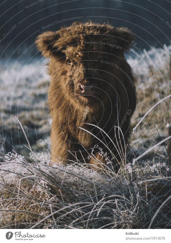 Fluffy Tier Nutztier Wildtier Kuh Fell 1 Tierjunges frieren authentisch hell kuschlig nah niedlich schön wild blau braun weiß Vertrauen Tierliebe Einsamkeit