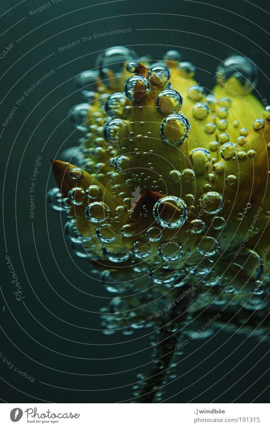 Luftig Natur Wasser Wassertropfen Klima Pflanze Blume Strohblume atmen Duft tauchen Flüssigkeit frei kalt nass gelb gold schwarz weiß ruhig Luftblase Blase