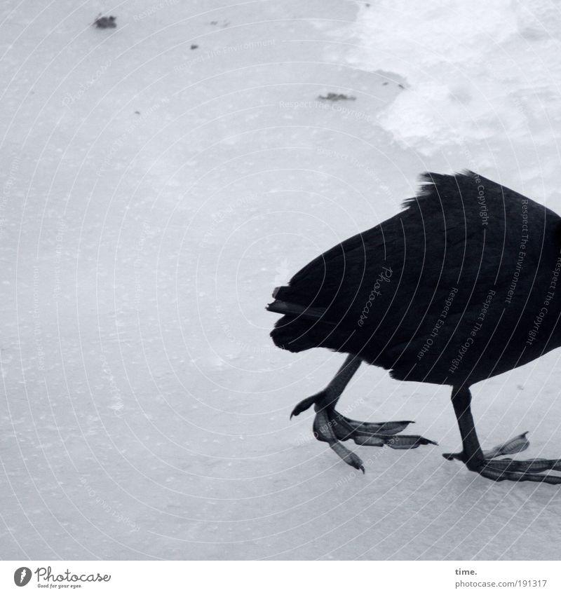 Winterdepression Schnee Eis Frost Vogel laufen Traurigkeit kalt schwarz Scholle gefroren Tierfuß Beine Feder Blässhuhn gebeugt aufgeplustert trüb schliddern