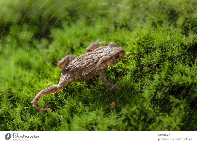 Krötenwanderung Umwelt Natur Pflanze Tier Erde Moos Blatt Grünpflanze Wald Wildtier Frosch Lurch Froschlurche krabbeln wandern frisch klein natürlich weich