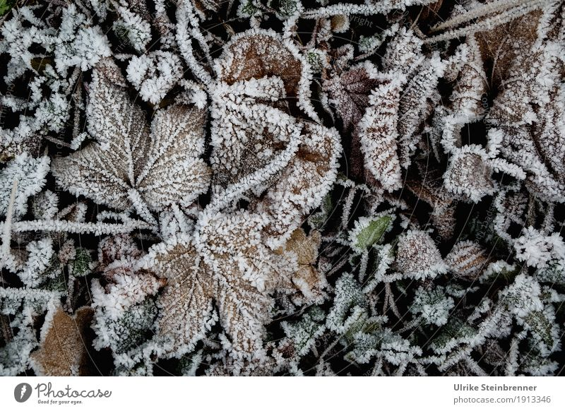 Raureif 6 Umwelt Natur Pflanze Winter Wetter Eis Frost Blatt Garten Park Wiese frieren glänzend liegen dehydrieren kalt natürlich Ahornblatt Eiskristalle eisig