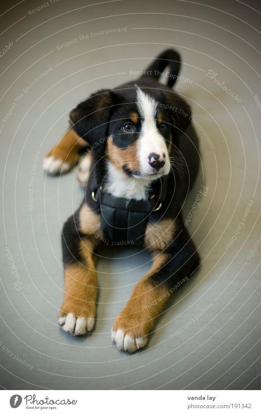 Appenzeller Hund Tier Tierjunges liegen niedlich Neugier Freundlichkeit Innenaufnahme Menschenleer Wachsamkeit Haustier kuschlig Schüchternheit Welpe