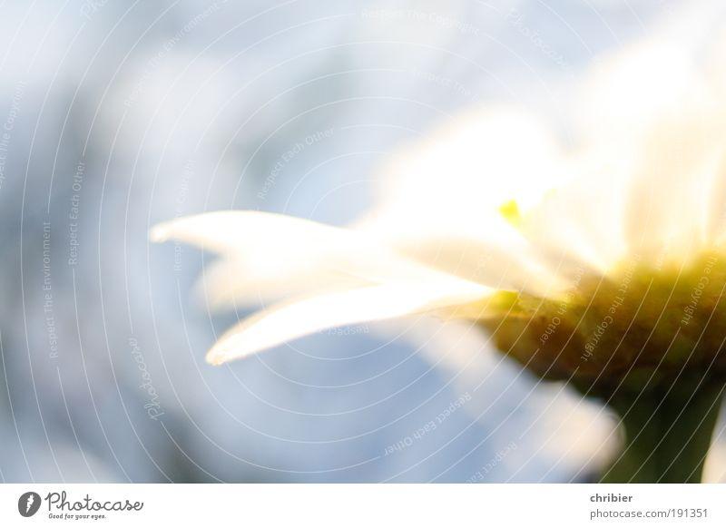 Sommer vor der Tür Natur Pflanze Schönes Wetter Blume Margerite Gänseblümchen Blühend Duft glänzend leuchten ästhetisch hell schön nah blau gelb weiß Glück