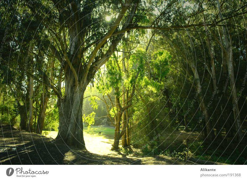 grünes Licht Natur Baum grün Pflanze ruhig Blatt Wald dunkel Stimmung Umwelt Licht ästhetisch Wachstum wild fantastisch Idylle