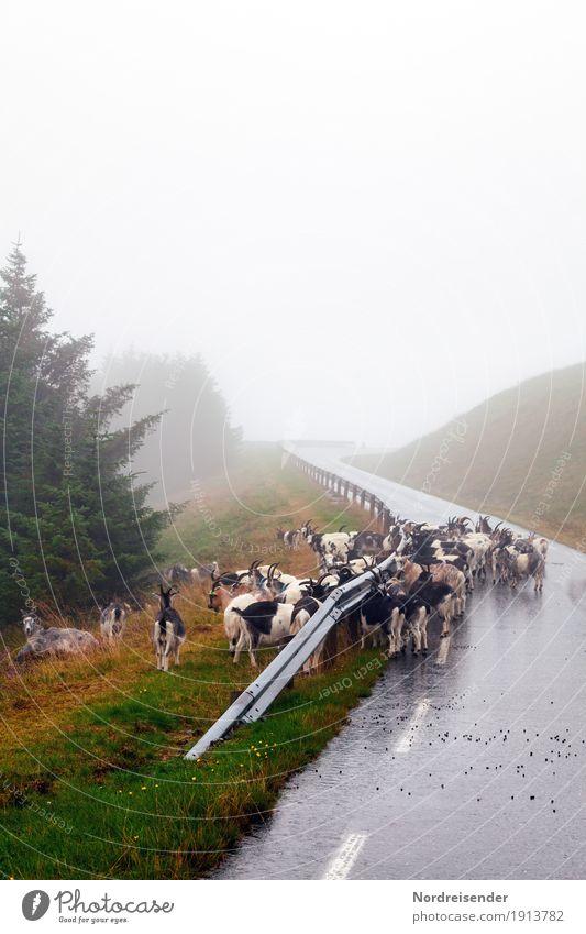 Zickenalarm Natur Ferien & Urlaub & Reisen Pflanze Baum Landschaft Tier Straße Wege & Pfade natürlich Gras außergewöhnlich Regen Verkehr Wetter Nebel Tiergruppe