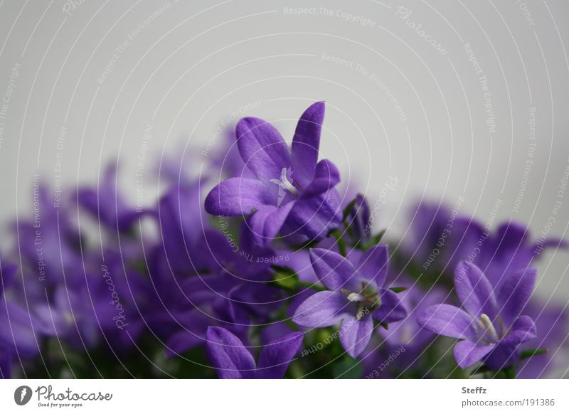 blühende Campanula Glockenblume Glockenblumen Frühlingsblumen dezent Zimmerpflanzen violett fein natürlich Romantik graue Farbe Zierpflanze Blühend lila