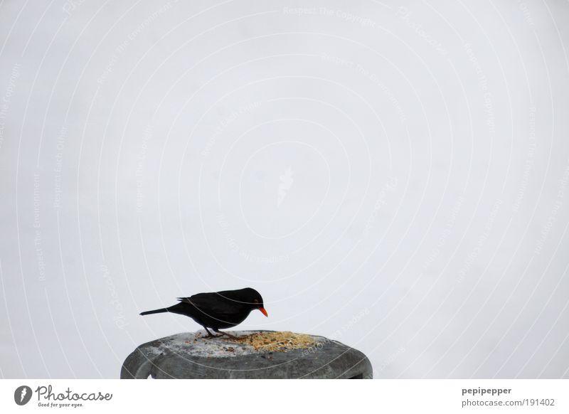 verbotenes füttern! Mittagessen Festessen Winter Schnee Natur Park Vogel Flügel 1 Tier Fressen Neugier Appetit & Hunger gefräßig Schwarzweißfoto Außenaufnahme