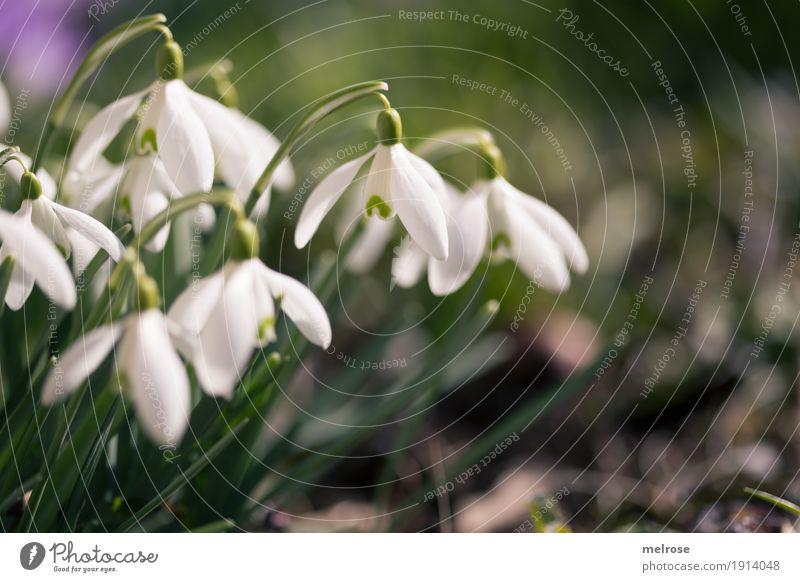 Schneeglöckenchen mit Rechtsdrang Natur Pflanze Erde Frühling Klima Schönes Wetter Blume Gras Blüte Wildpflanze Schneeglöckchen Liliengewächse Blütenpflanze