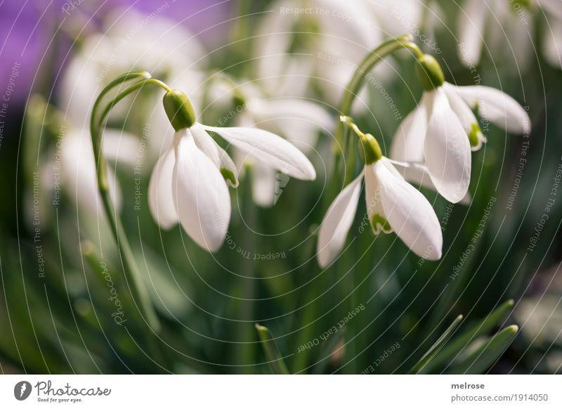 Schneeglöckchen im Rampenlicht Umwelt Pflanze Frühling Schönes Wetter Blume Gras Blüte Wildpflanze Liliengewächse Blütenpflanze Blütenkelch Blütenknospen Wiese