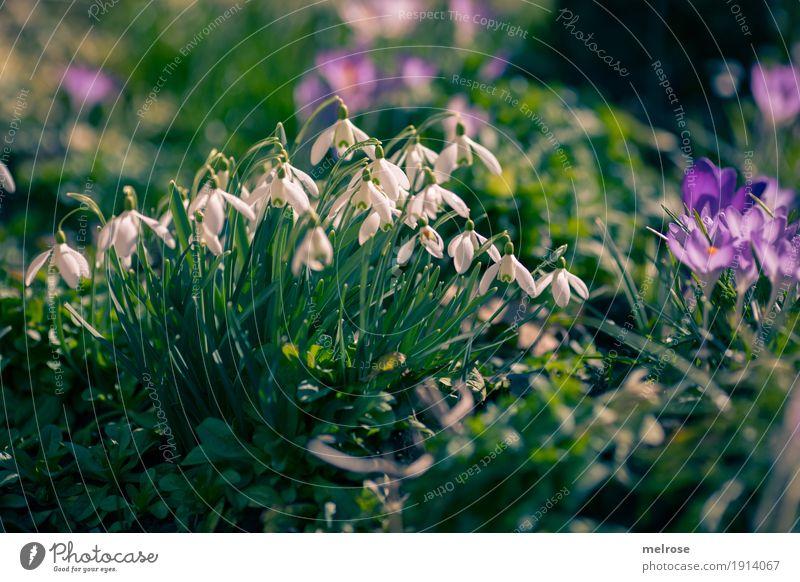 Schneeglöckchen und Krokusse Natur Pflanze Erde Sonne Frühling Klima Schönes Wetter Blume Gras Blüte Wildpflanze Blütenpflanze Liliengewächse Amaryllisgewächse