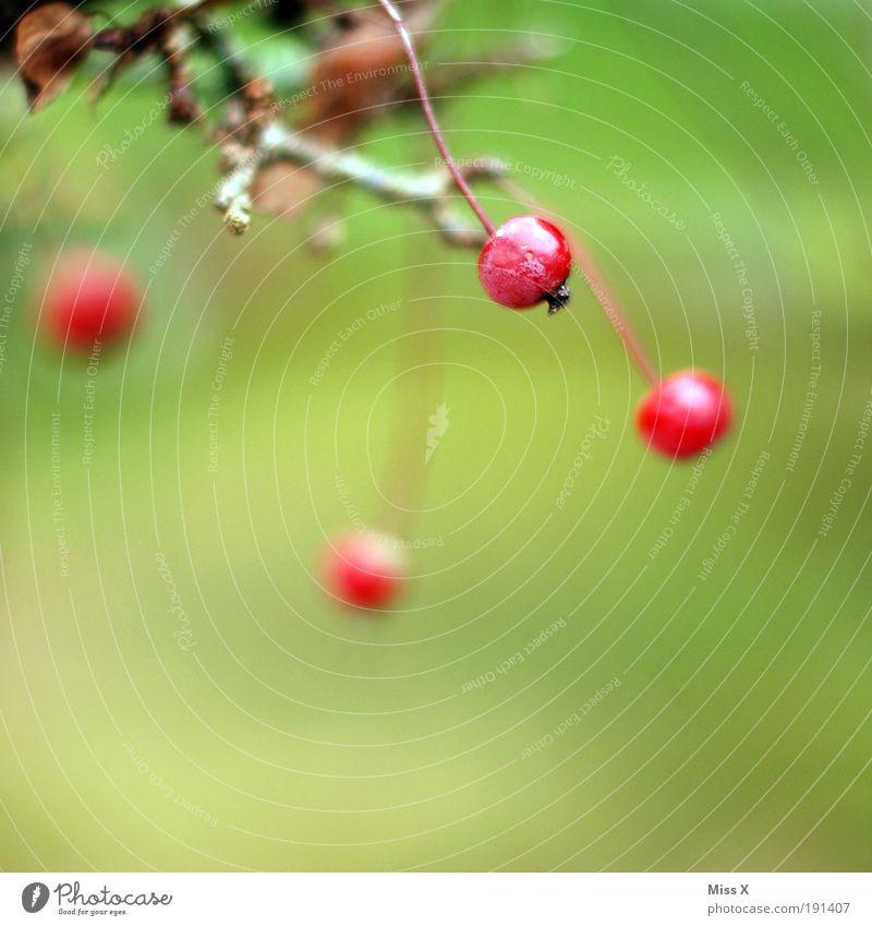beerig Lebensmittel Frucht Umwelt Natur Sommer Herbst Pflanze Baum Sträucher Blatt Park klein lecker saftig Beeren Ast herbstlich Farbfoto mehrfarbig