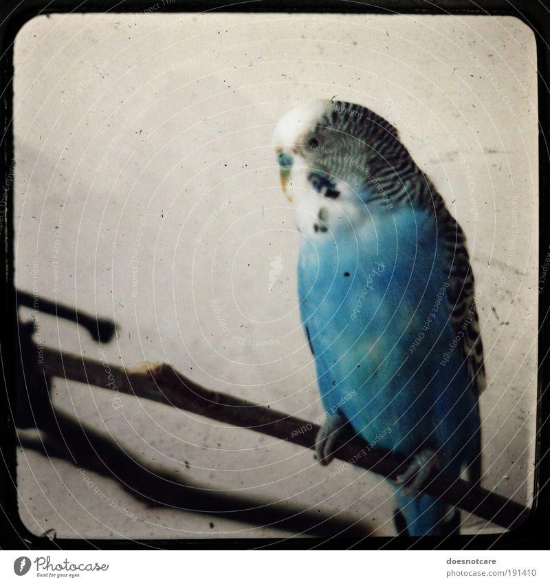 Battered Old Bird. Tier Haustier Vogel 1 sitzen Wellensittich blau Feder Kamerawurf analog Rahmen Blick maskulin alt Farbfoto Textfreiraum links