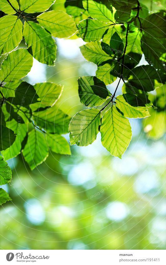 Grünes Licht Leben harmonisch Wohlgefühl Zufriedenheit Erholung ruhig Gartenarbeit Natur Frühling Sommer Blatt Ast Park Fröhlichkeit frisch hell positiv grün