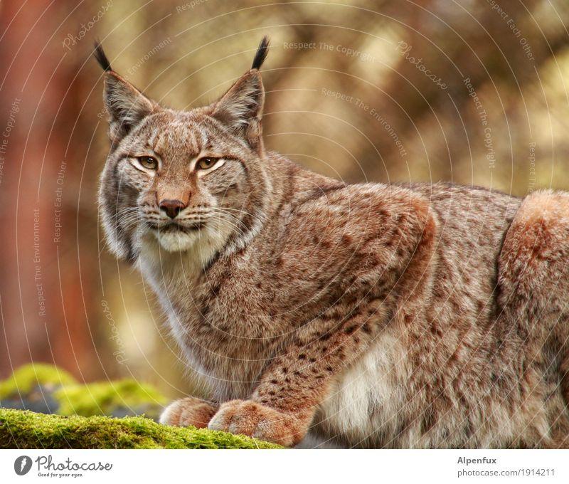 Lynx Lynx Tiergesicht Fell Krallen Pfote Zoo Luchs 1 sportlich kuschlig Kraft Tatkraft ästhetisch elegant Gelassenheit Konzentration Stolz Farbfoto