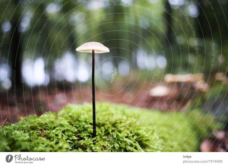 stilsicher Umwelt Natur Pflanze Tier Herbst Schönes Wetter Moos Wald Waldboden Pilz stehen Wachstum dünn lang ungenießbar Waldspaziergang Unschärfe Farbfoto