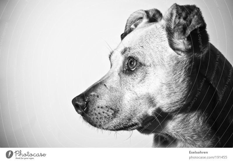 Flash Tier Haustier Hund Fell 1 beobachten Denken hören Blick Neugier niedlich Überraschung Misstrauen Schwarzweißfoto Innenaufnahme Textfreiraum links