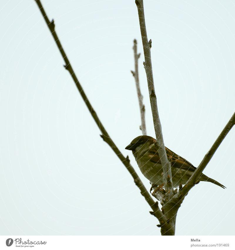 Gabelhocker Umwelt Natur Pflanze Tier Winter Baum Ast Wildtier Vogel Spatz 1 hocken sitzen dunkel natürlich niedlich trist Freiheit Abzweigung Astgabel Farbfoto