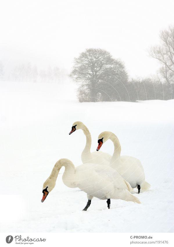Winterschwäne Baum Tier kalt Schnee Wetter Wildtier Vogel Schwan