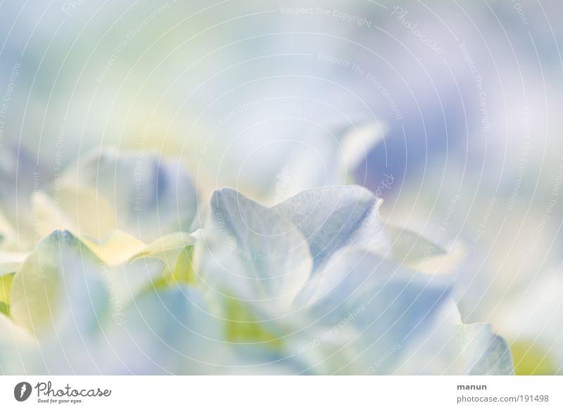 Hortensie I Wellness harmonisch Erholung Duft Muttertag Taufe Gartenarbeit Gärtnerei Natur Frühling Sommer Blume Blüte Stauden frisch hell blau violett weiß