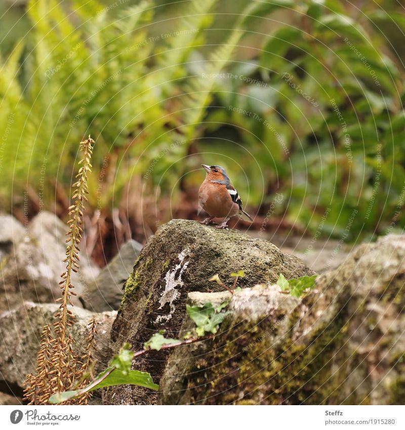 I spy with my little eye Umwelt Natur Pflanze Tier Sommer Wildpflanze Farn Garten Park Vogel Wildvogel Fink Buchfink Stein beobachten Blick klein niedlich rund