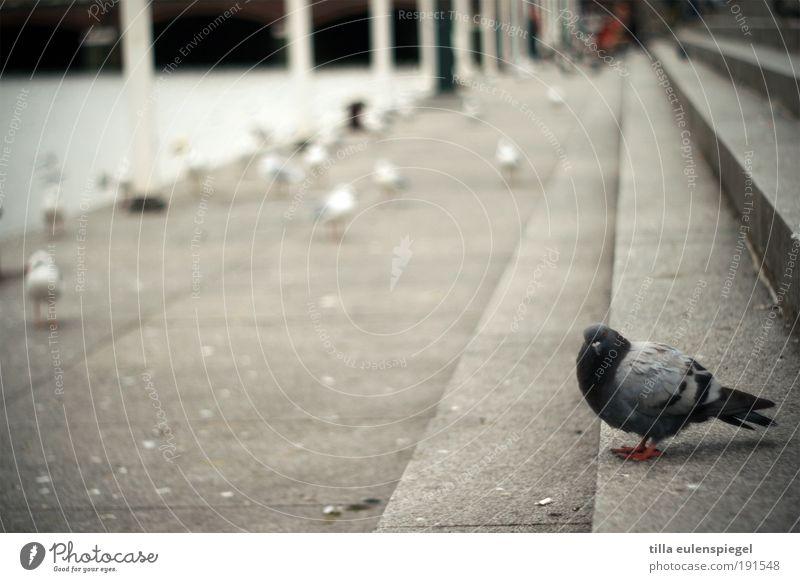 tach auch Tier grau Vogel Beton Treppe Wildtier trist Möwe Taube stagnierend Isoliert (Position) Textfreiraum links Fluchtpunkt Stadtbewohner Fluchtlinie
