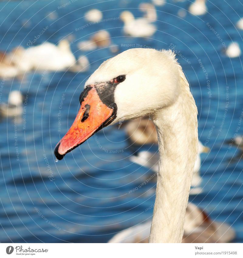 Weißer Schwan Natur blau Wasser weiß rot Tier schwarz gelb Gefühle Liebe See Vogel orange Wildtier Feder Romantik