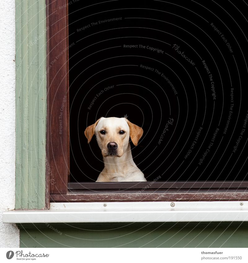 Hypnose Wohnung Fenster Tier Haustier Hund Tiergesicht 1 beobachten sitzen warten Häusliches Leben bedrohlich Neugier grün schwarz weiß Schutz Tierliebe