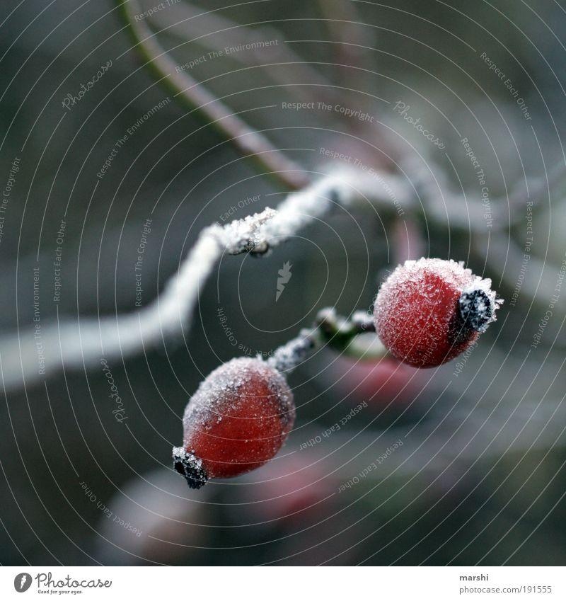 Frostige Früchtchen Natur Pflanze Winter kalt Eis Wetter Frucht Unschärfe Hagebutten
