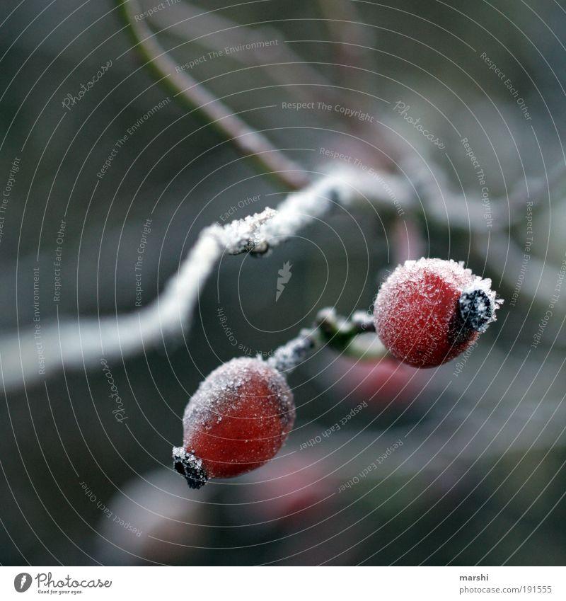 Frostige Früchtchen Natur Winter Wetter Pflanze kalt Unschärfe Hagebutten Frucht Eis Farbfoto Außenaufnahme