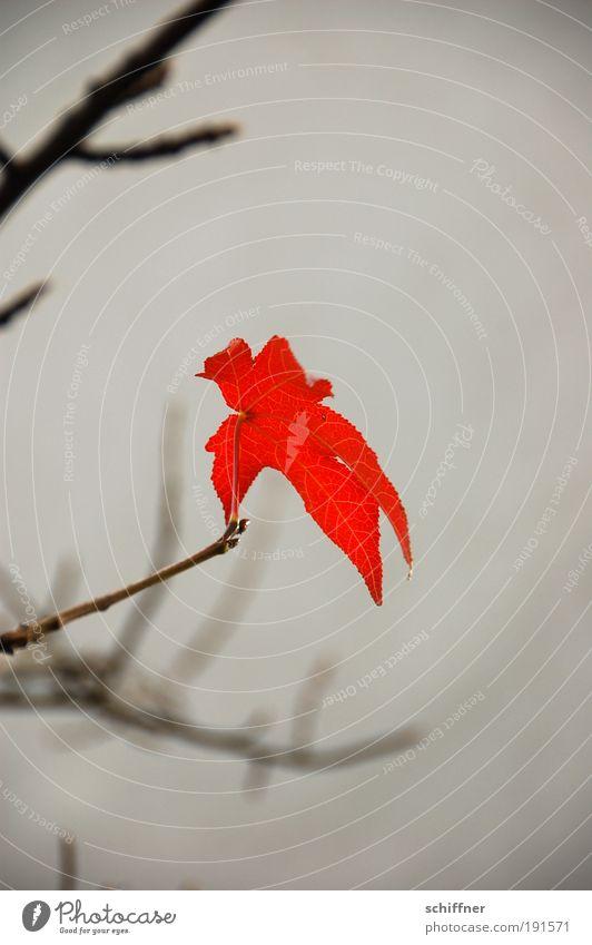 Last leaf standing Umwelt Natur Pflanze Herbst Klima Klimawandel schlechtes Wetter Blatt hängen einzigartig rebellisch trist rot Willensstärke Ausdauer Hoffnung