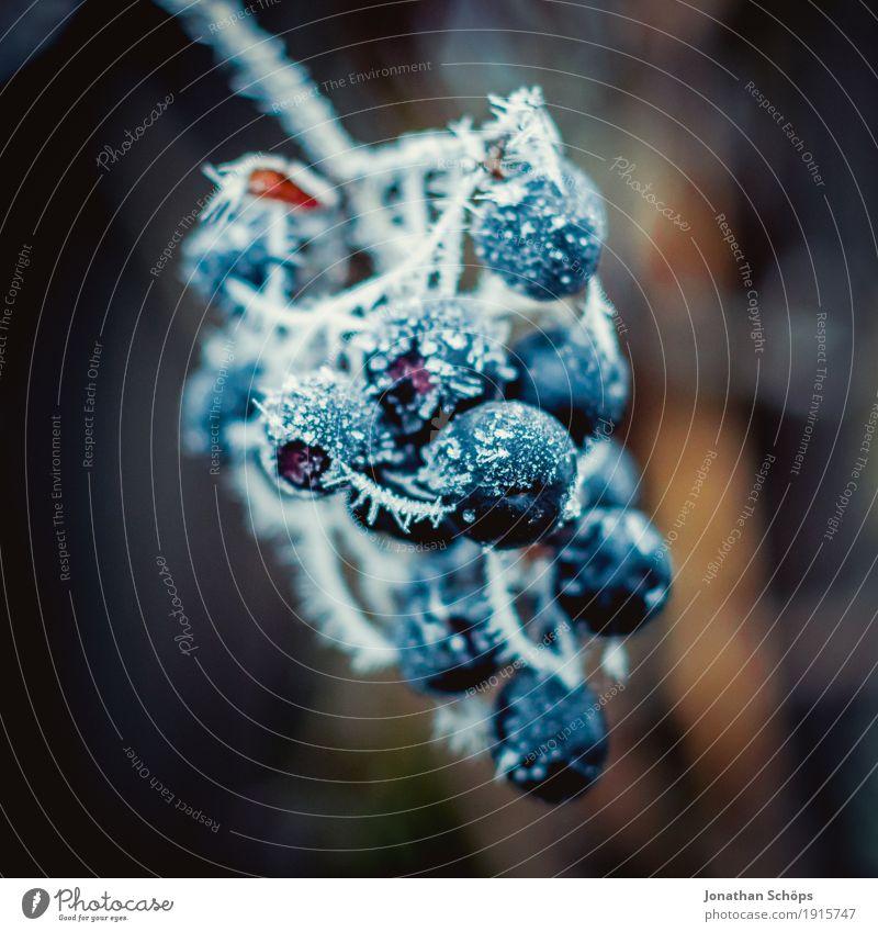 Blüten des Winters XIII Natur Pflanze Herbst Nebel Traurigkeit kalt Trauer Einsamkeit Vergänglichkeit Frost Jahreszeiten Beeren Eis gefroren Raureif blau Garten