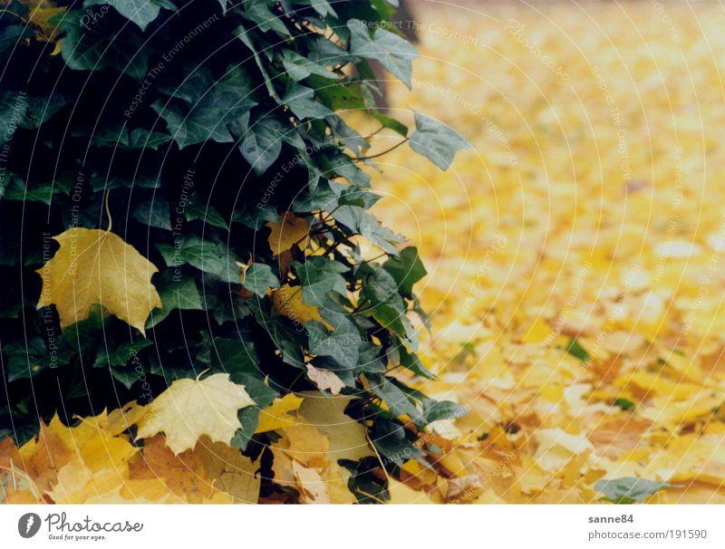 Herbst Herbstlaub Natur Baum Blatt Park Zufriedenheit ruhig gelb grün Efeu Ahorn Farbfoto Außenaufnahme Menschenleer Tag
