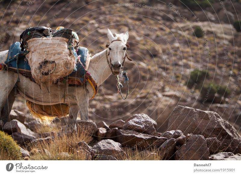 Last Esel? Gesundheit sportlich wandern Bergsteigen Muli Gewicht Lastenträger Gepäck Gepäckablage Hilfsbereitschaft Stein Berge u. Gebirge Berghang karg weiß