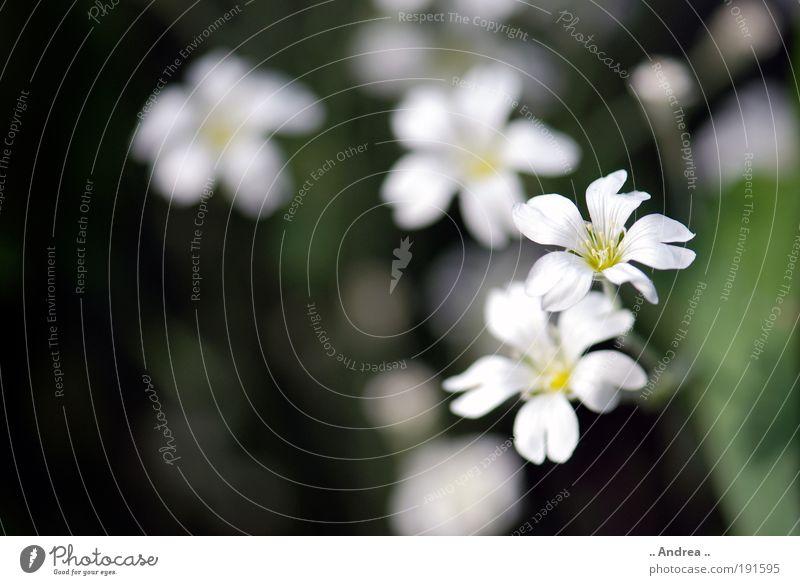 Frühlingsbote Nr.4 Pflanze Blume Blatt Blüte Grünpflanze Blühend Duft Erholung Trauer Natur Park Wiese dunkel weiß grün Farbfoto Gedeckte Farben Außenaufnahme