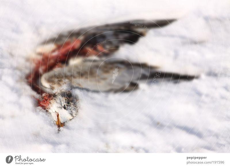 den Winter nicht überlebt Natur Sonne Sonnenlicht Wetter Eis Frost Schnee Garten Park Tier Vogel Taube 1 dehydrieren kaputt friedlich Trauer Tod Schmerz