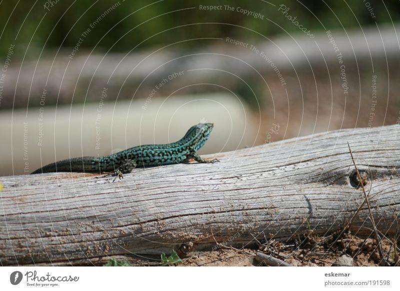 Eidechse Natur Baum grün Tier klein Erde Insel wild Neugier Wildtier Spanien Sonnenbad Baumstamm krabbeln Reptil Licht
