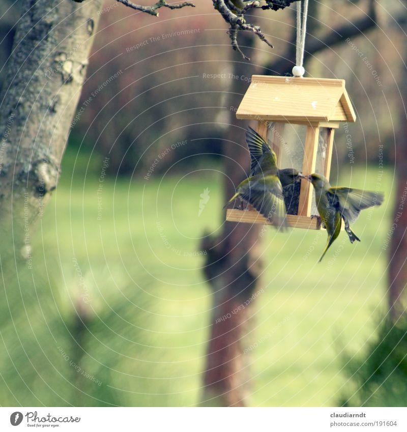 Frühlingsgefühle Getreide Natur Tier Baum Garten Vogel Fink 2 Tierpaar Bewegung fliegen füttern kämpfen Küssen Aggression Geschwindigkeit Gefühle Erfolg Kraft