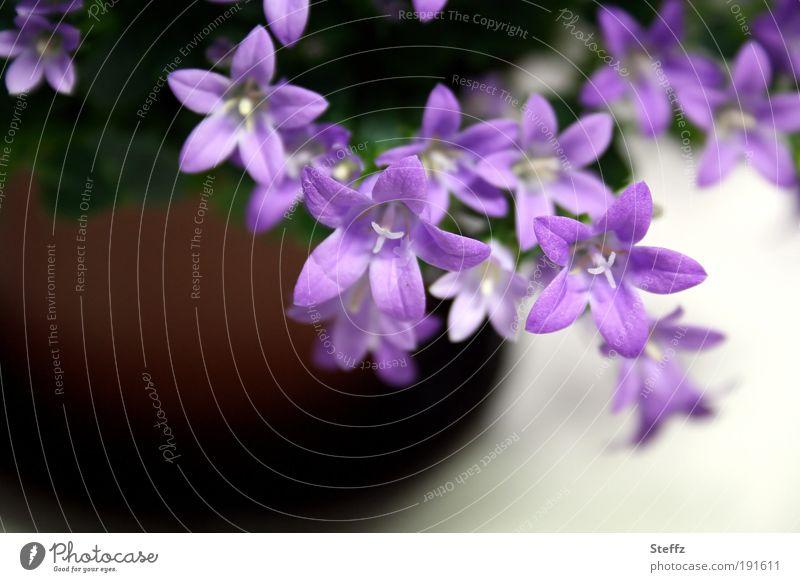 Vorboten des Frühlings Glockenblume Campanula Glockenblumen Frühlingsblume Frühlingsblumen Topfpflanze blühen violett lila dezent erblühen fein Dekoration